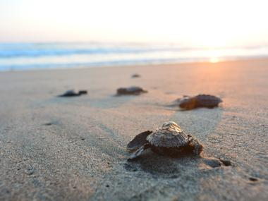 Baby sea turtles walking towards the ocean after hatching on the Space Coast