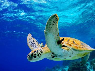 Green Sea Turtle Swimming