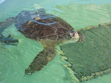 A large sea turtle in water