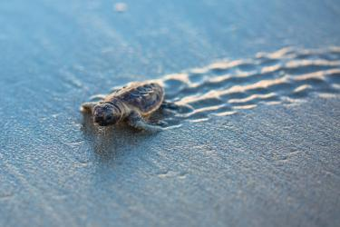 A baby sea turtle walking on the beach
