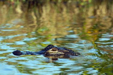Alligator at the Merritt Island National Wildlife Refuge