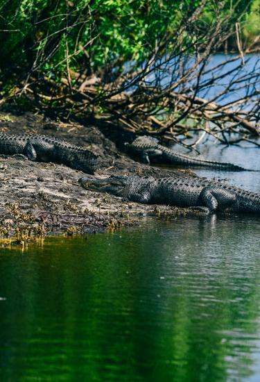 Alligator viewing on an airboat tour