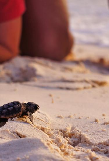 A baby sea turtle after hatching on the beach