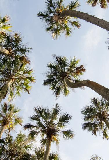 Palm trees in the beautiful Florida sun on Florida's Space Coast