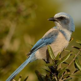 Florida Scrub Jay on Florida's Space Coast