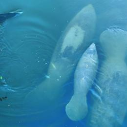 Manatees up close and personal on a nature kayak tour