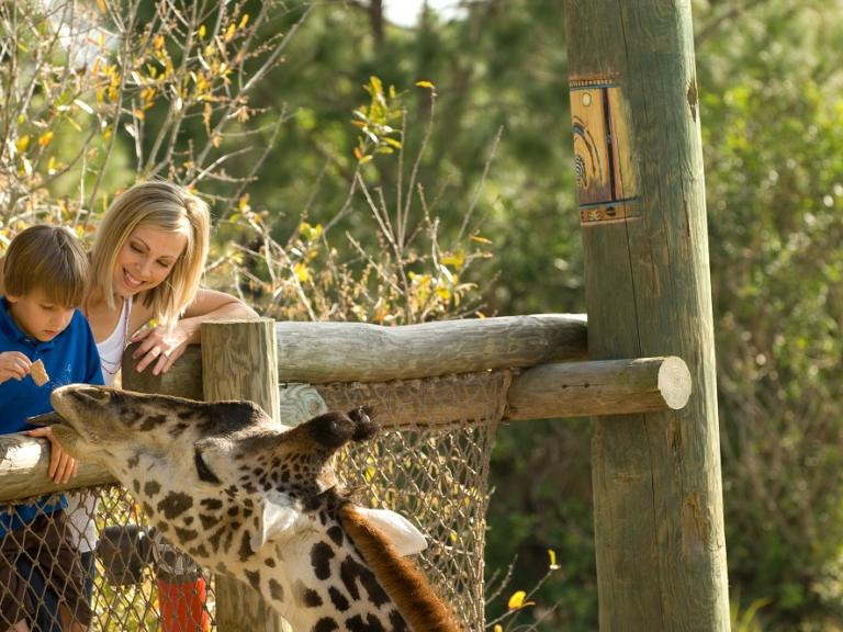 Feeding giraffes at the Brevard Zoo in Viera, FL