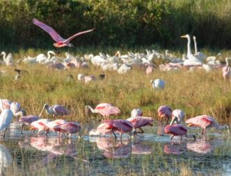 Spoonbills and other birds feeding